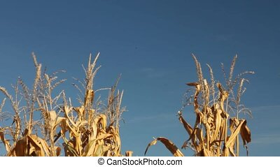 Row of corn stalks