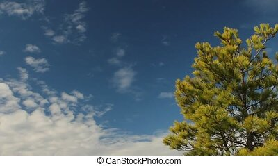 Pine tree with view of Georgian Bay - Wind moving pine tree,...