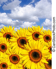 Summer Sunflowers - Sunflowers in summer set against a blue...