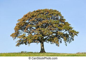 Oak Tree In Early Autumn - Oak tree in a field in early...