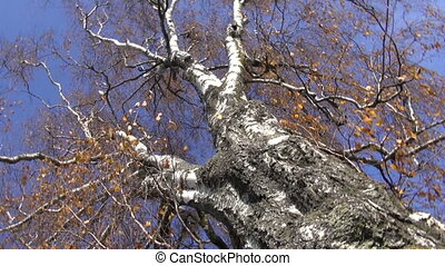 old birch and camera rotate - very old birch tree in autumn...