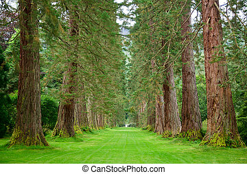 Redwood Avenue - Empty park alley with giant sequoia trees