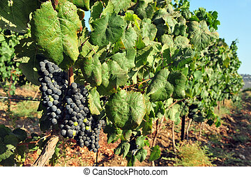 Grape fruit grows in a vineyard - Fresh purple grape fruit...