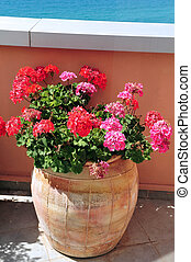 Geranium flowers in a pot - Pink and red Geranium flowers in...