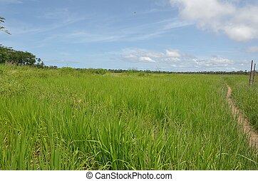 field of rice in Africa,Senegal