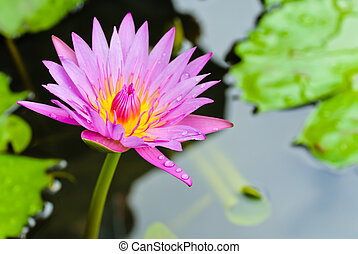 Pink water lilly flower