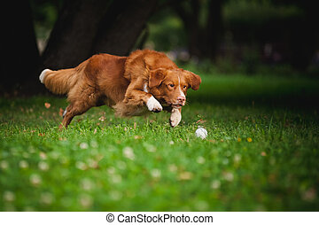 golden retriever Toller dog playing with ball - happy golden...