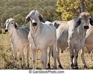 brahman, vaca, manada, rancho, australiano, carne de vaca,...