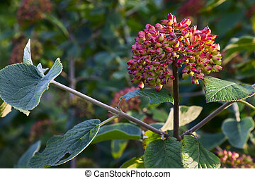 Viburnum lantana - Close up of Viburnum lantana german;...