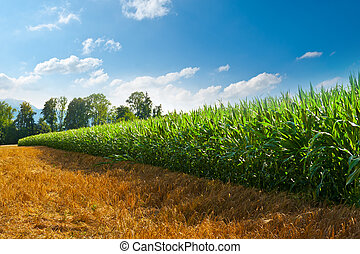 Plantation of Fodder Corn in Southern Bavaria, Germany