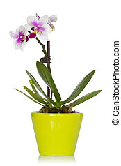Little orchid in a green pot, isolated on a white background