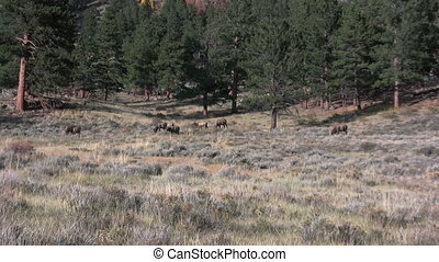 Cow Elk Herd
