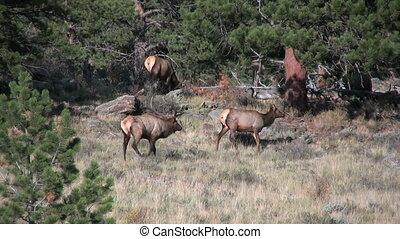 Elk Herd in Rut