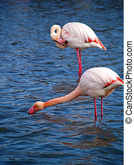 Pink flamingos in Camargue National Park, France unesco...