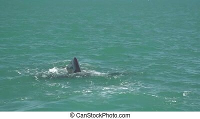 Sperm Whale 1. - Kaikoura, New Zealand. As the whale draws...