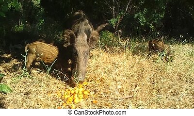Wild Boars In Milli National Park, Kusadasi, Turkey