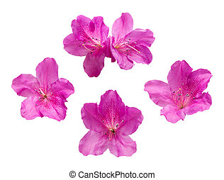 Pink Rhododendron flowers isolated on white background -...