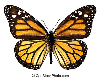 Isolated monarch butterfly - An orange monarch (Danaus...