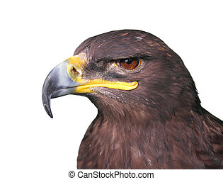 Steppe Tawny Eagle closeup, isolated on white background -...