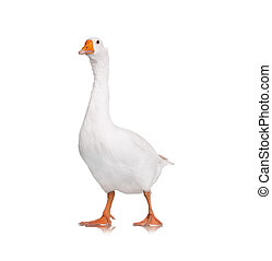 Domestic goose - White domestic goose isolated on white...