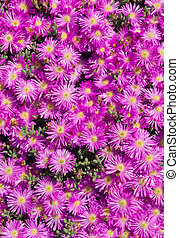 Lots of pink colorful mesembryanthemums (ice plant) flowers.