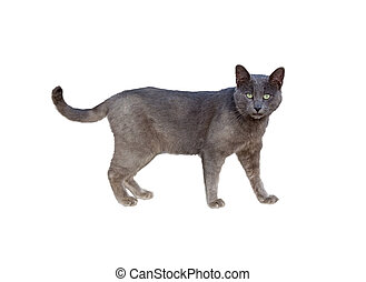Chartreux cat - Side view of Chartreux cat standing isolated...