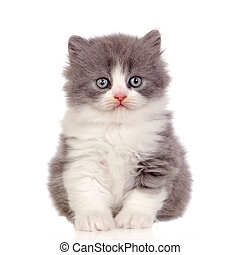 Beautiful angora kitten with gray and soft hair isolated on...