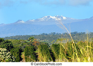 Mauna Kea on clear day - Guava farm fronts snow capped peak...