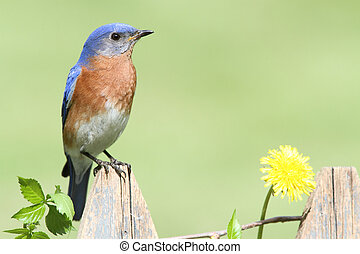 Eastern Bluebird with Dandilion
