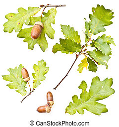 Oak leaves and acorns - Collection of oak leaves and acorns