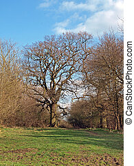 Magnificent oak tree - Oak tree in Brampton wood Brampton...