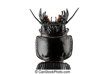 Burrowing ground beetle - Close-up of the head of an African...