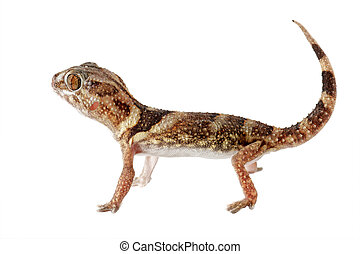 Giant ground gecko - An African giant ground gecko...