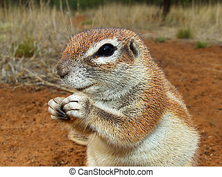 Ground squirrel - Close-up of a feeding ground squirrel...