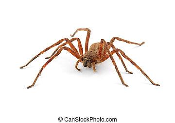 Rain spider - A hairy African rain spider Palystes spp on...