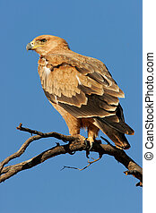 Tawny eagle Aquila rapax perched on a branch, Kalahari...