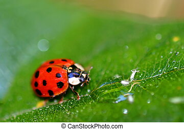 Lady Bug - Coccinellids or ladybugs are small insects and...