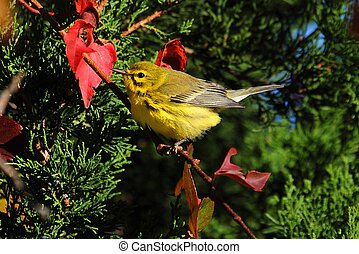 Prairie Warbler Dendroica discolor perched in a tree in fall...