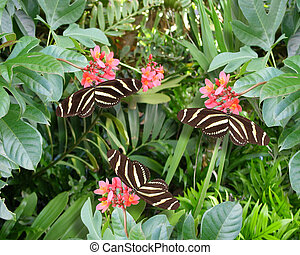 Zebra longwing butterflies - Image and illustration...