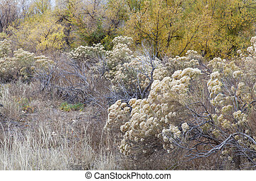 rabbitbrush and cottonwood - rabbitbrush, dry grass and...