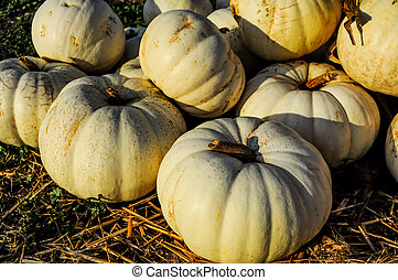 group of white pumpkins - a few white pumpkins grouped...