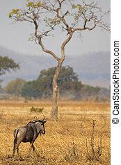 Wildebeest in Mikumi - Wildebeest standing in the savannah...