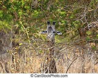 Wild Giraffe in the savannah in Mikumi, Tanzania