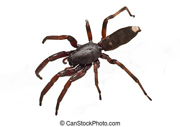 white tip spider - The infamous Australian white tip spiders...