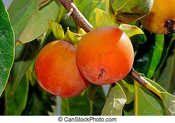 Ripe persimmon fruit on tree. - Ripe Persimmon fruit growing...