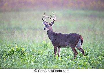 White-tailed deer buck in foggy meadow - A large...