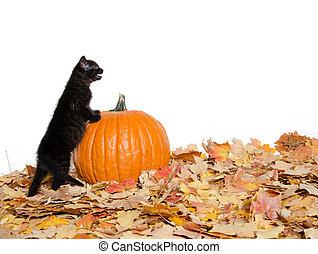 black kitten and pumpkin - Cute black baby kitten with...