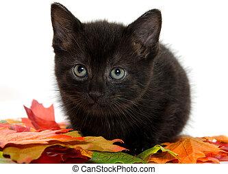 black kitten and pumpkin - Cute baby black kitten, fall...