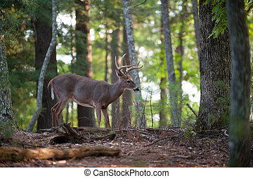 Large white-tailed deer buck - Large whitetail deer buck...