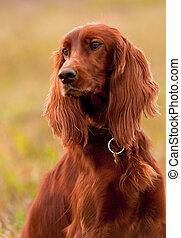 Portret irish setter, vertical. Closeup. - Portrait of a...